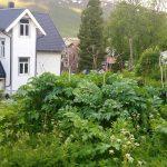 Tromsøpalme