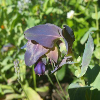 Cerinthe Major purpurascens - selvsådd