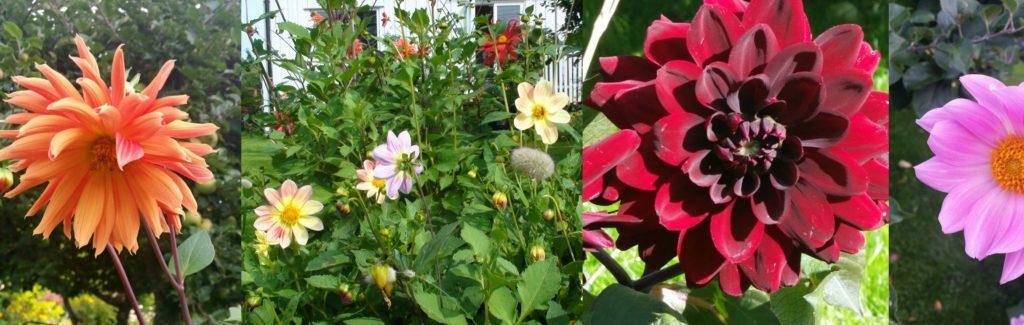 Flotte dahlia i hagen nå