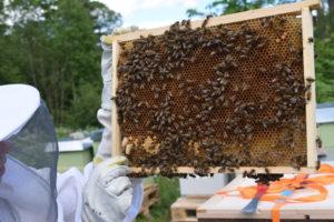 Tett med bier på hver ramme - nederst til venstre er det to dronningceller